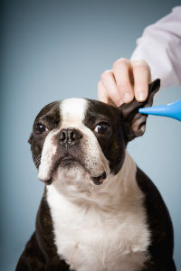Macarthur Vet Otitis - Ear Infection in Dogs and Cats 1