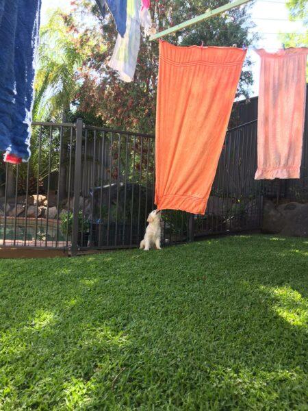 Macarthur Vet Puppy Mischief! 1