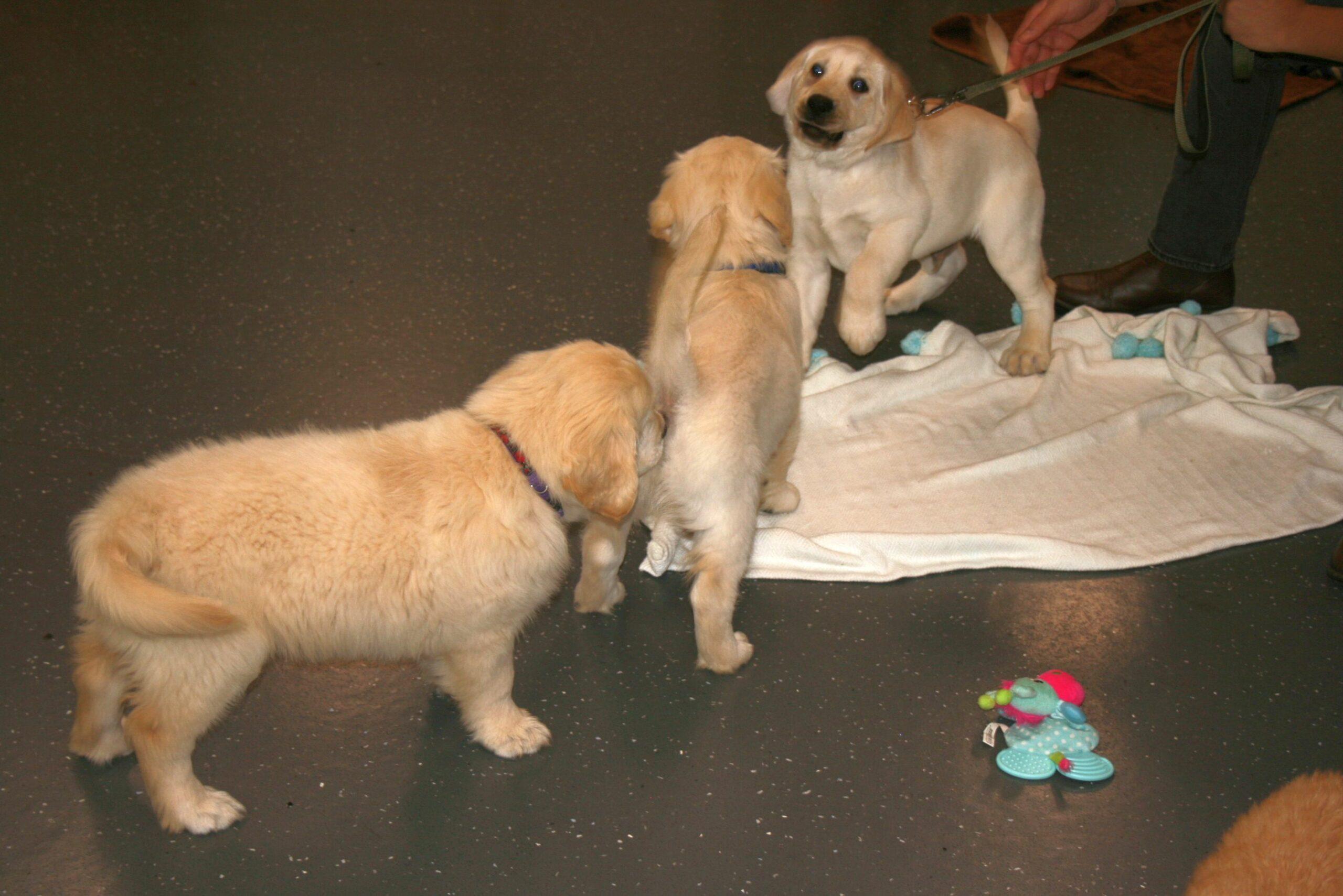 Macarthur Vet Chisel's First Puppy Preschool! 11