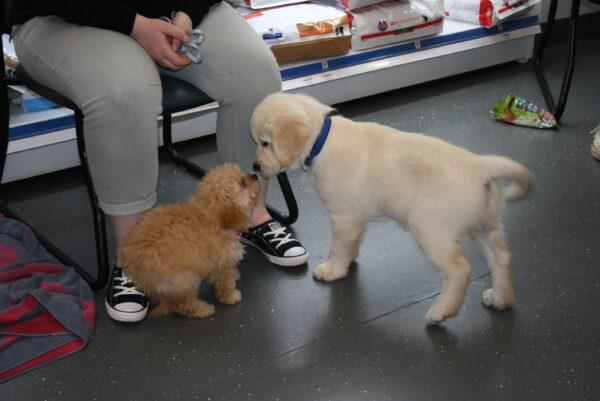 Macarthur Vet Chisel's 2nd Puppy Preschool 7