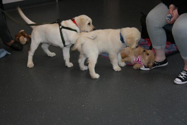 Macarthur Vet Chisel's 2nd Puppy Preschool 8