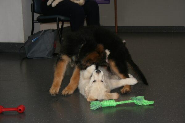 Macarthur Vet Chisel's 3rd Puppy Preschool 4