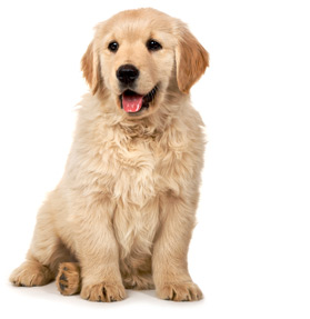 Macarthur Vet Caring for Your Puppy 1