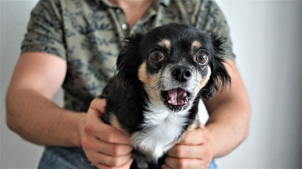 Scared chihuahua being held by owner