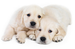 Macarthur Vet Caring for Your Puppy 4