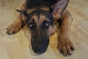 Macarthur Vet Arthritis in Dogs 1