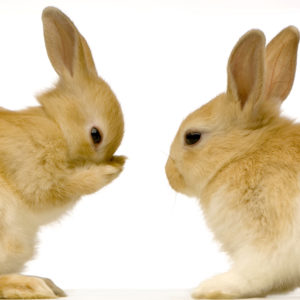 Macarthur Vet Vaccinations for Rabbits 1