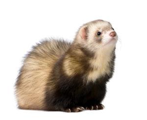 Macarthur Vet Ferrets as Pets 1