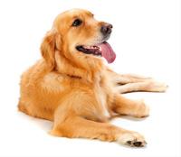Macarthur Vet Caring for Your Senior Dog 1