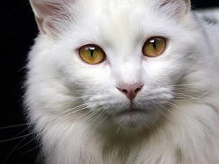 Macarthur Vet Caring for Your Senior Cat 1